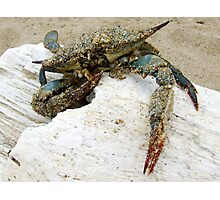 Stranded Blue Crab Photographic Print