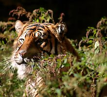 Siberian Tiger Relaxing by Aaron Alviano
