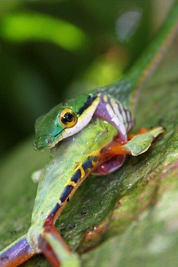 Green Parrot Snake by Robbie Labanowski