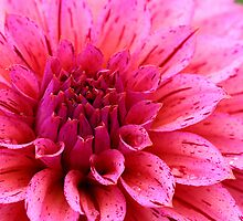 Two-tone Dahlia by Chrisdor
