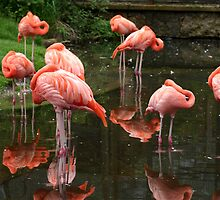 Flamingos!! by Aaron Alviano