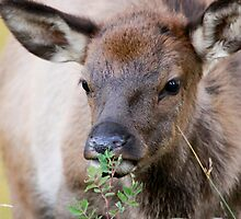 Elk Calf by Kimberly Palmer
