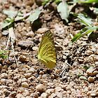 Yellow butterfly by cathywillett