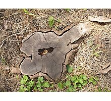 Top view of an old stump of cut tree cracked and rotten core Photographic Print