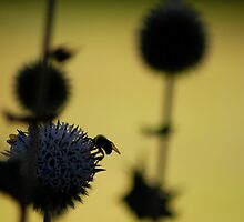 Bees gathering in silhouette by Danielle Kieley-Veats