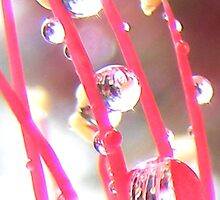 Raindrops on flowering Bottle Brush. by Esther's Art and Photography