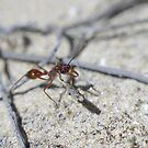 Red Bull Ant. by Adam Burke