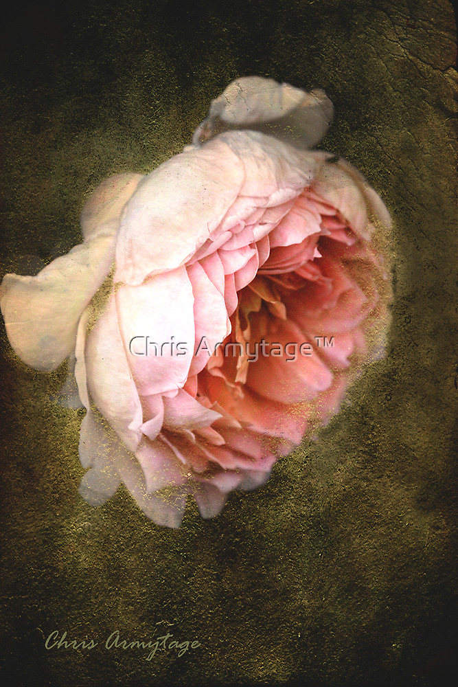 Summer's last rose by Chris Armytage™