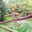 The Shy DragonFly by piong