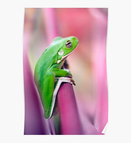 Froggie in the pink Poster