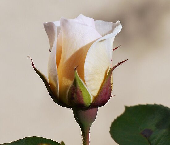 Rose Bud by gmws