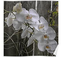 White Moth Orchid near fence Poster