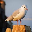 A seagull to sunset by ambra2italy