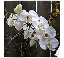 White orchid near dark fence Poster