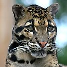 Clouded Leopard by Sheila Smith