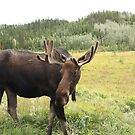 Young Male moose by Braedene