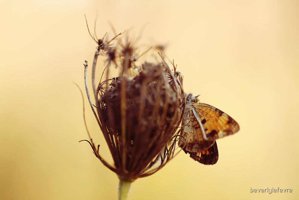 golden butterfly on queen anne's lace by beverlylefevre