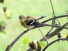 Little Goldfinch by Veronica Schultz