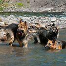 Shepherds in the water by Kerri Gallagher