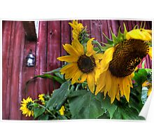 Autumn Sunflower Poster