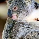 Koala by Renee Hubbard Fine Art Photography
