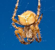 Cat face spider ( Araneus gemmoides ) by Jeffrey  Sinnock