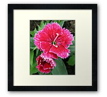 Blush Pink Sweet Williams Framed Print