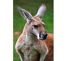Red Kangaroo Photographic Print