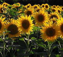 sunflowers by graceloves