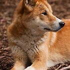 Portrait of a Dingo by Ian Creek