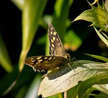 Speckled Wood on a speckled leaf by missmoneypenny