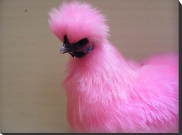 Pink silky chicken. by Esther's Art and Photography