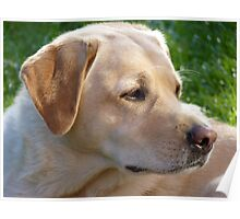 Pedigree Yellow Labrador Retriever Poster