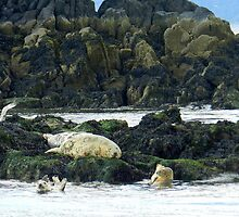 Seals just off Incholm Abbey on the Forth! by weecritter