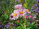 Pink Long-Leaved Aster Wildflower by MotherNature