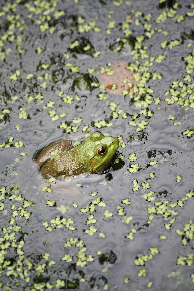 American Bullfrog study 1 by Linda Costello Hinchey