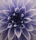 Cyanotype Dahlia by Orest Macina