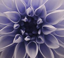 Cyanotype Dahlia by Orest Macina