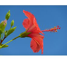 Blue Sky And Hibiscus Photographic Print