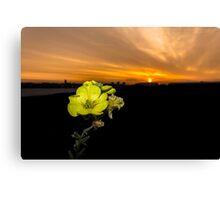 Evening Primrose, Morning Sun Canvas Print