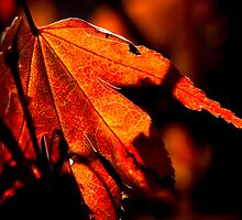 Autumnal Acer by Garry Copeland