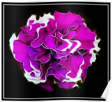Double Petunia Poster