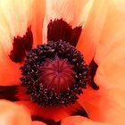 Inside a poppy! by weecritter