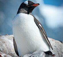 Gentoo Penguin with 2 chicks, Antarctica by Neville Jones