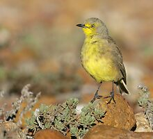Gibberbird - Sturt National Park, April 2011 by Rob Drummond