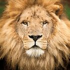 Wild Faces: Lion by Christopher Ashdown