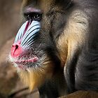 Wild Faces: Mandrill by Christopher Ashdown