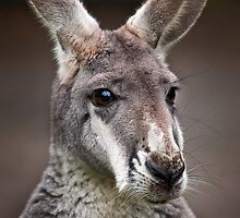 Wild Faces: Red Kangaroo by Christopher Ashdown