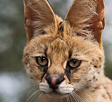 Wild Faces: Serval by Christopher Ashdown