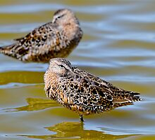 Limnodromus scolopaceus, long-billed dowitcher by Arto Hakola